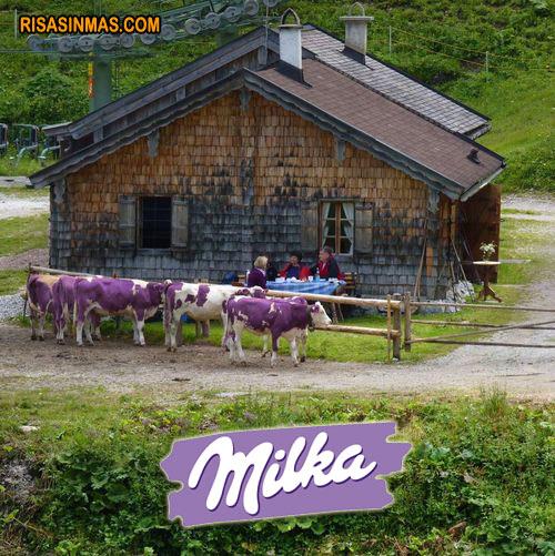 Descubren las vacas de Milka