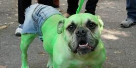 Disfraces perrunos: El increíble Hulk