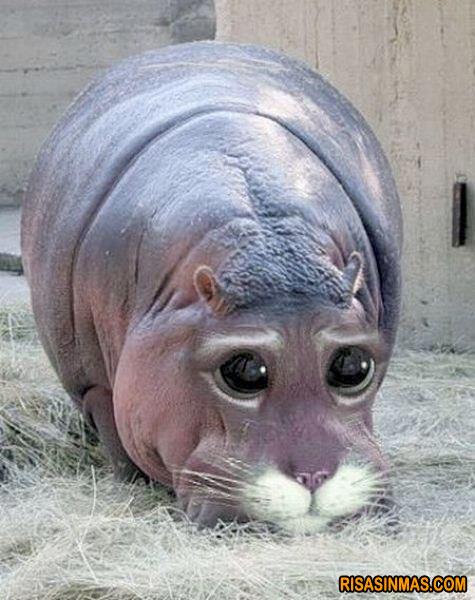 Hipopótamo-Gato