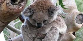 Koala durmiendo...