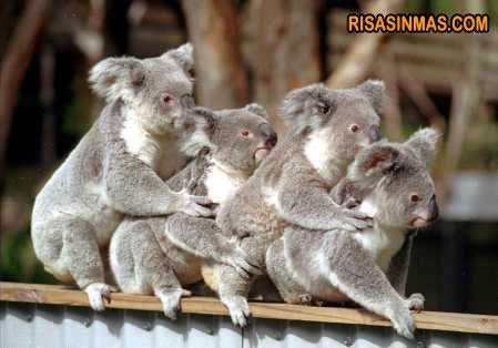 Koalas bailando la conga