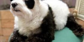Disfraces perrunos: oso panda