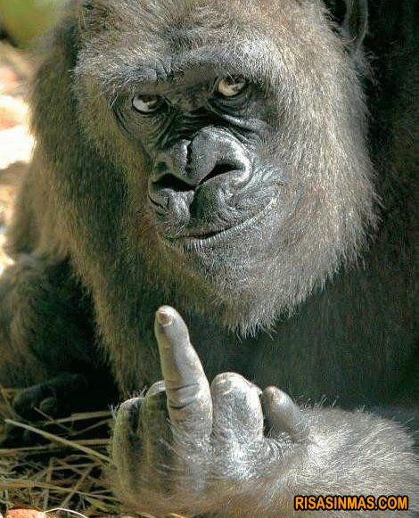 Gorila vacilón