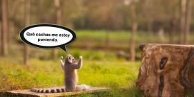 Lemur musculoso