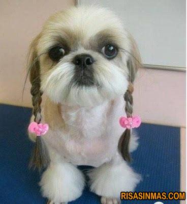 Perro con trencitas