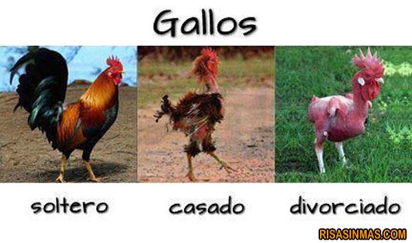 Aspecto gallos según su estado
