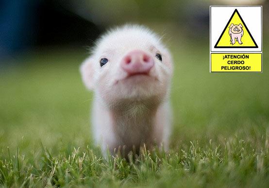 ¡Atención cerdo peligroso!