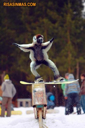 Lemur practicando snowboard