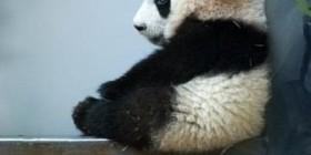 Osito panda pensativo