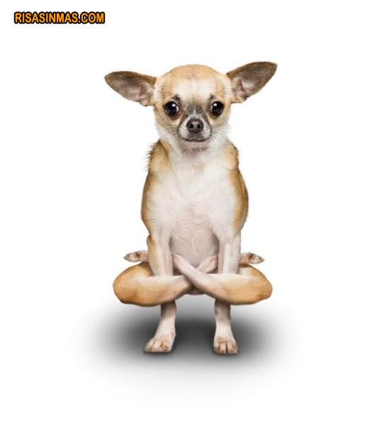 Yoga perruno: Chihuahua