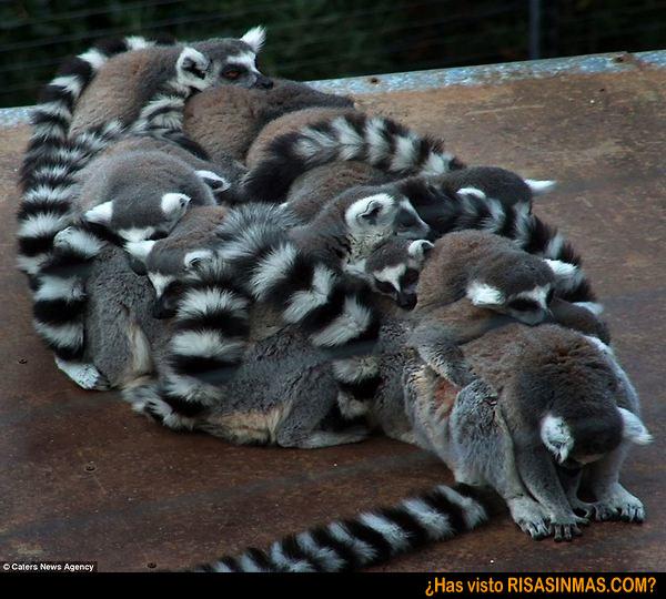 El pasatiempo de los lemures