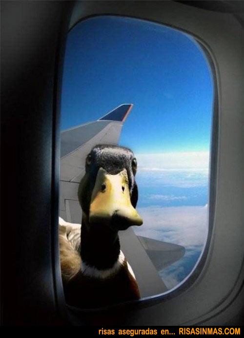 Pato polizón