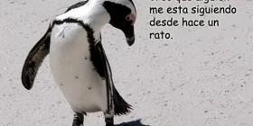 Pingüino mosqueado
