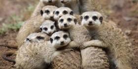 Retrato de familia... de suricatos