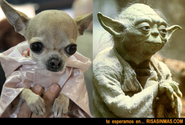 Parecidos razonables: Chihuahua - Yoda