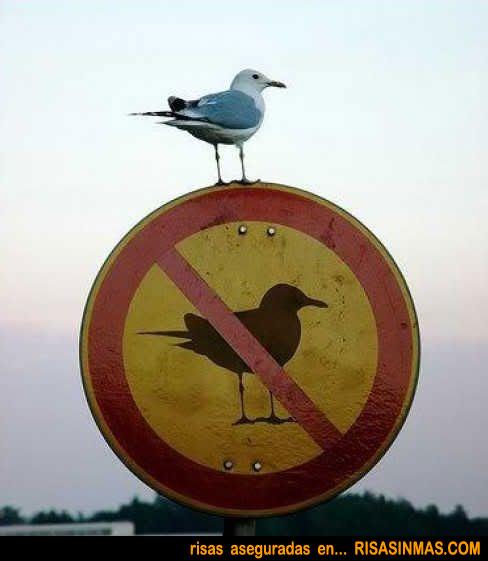 Gaviota desobediente