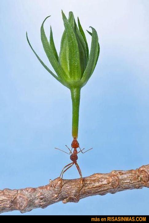 La hormiga malabarista
