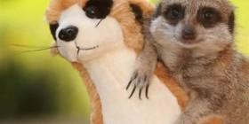 Amigos suricatos