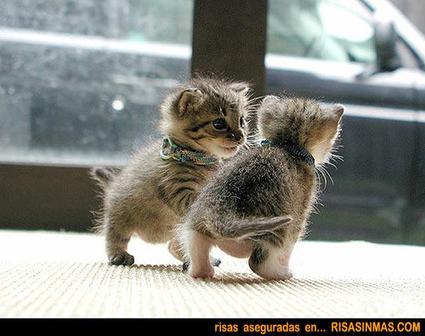 Encarnizada pelea entre felinos