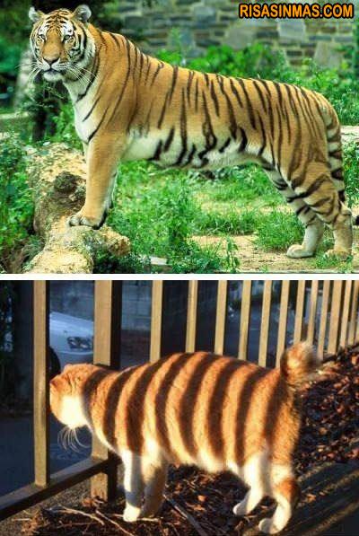 ¡Soy un tigre! ¡Soy un tigre!