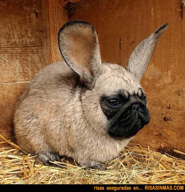 Presentamos el conejo-pug