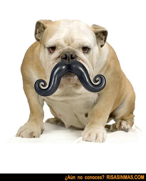 Sr. Don Bulldog Inglés