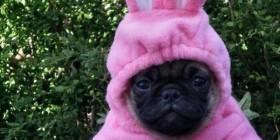 Disfraz de conejo de un perrito PUG