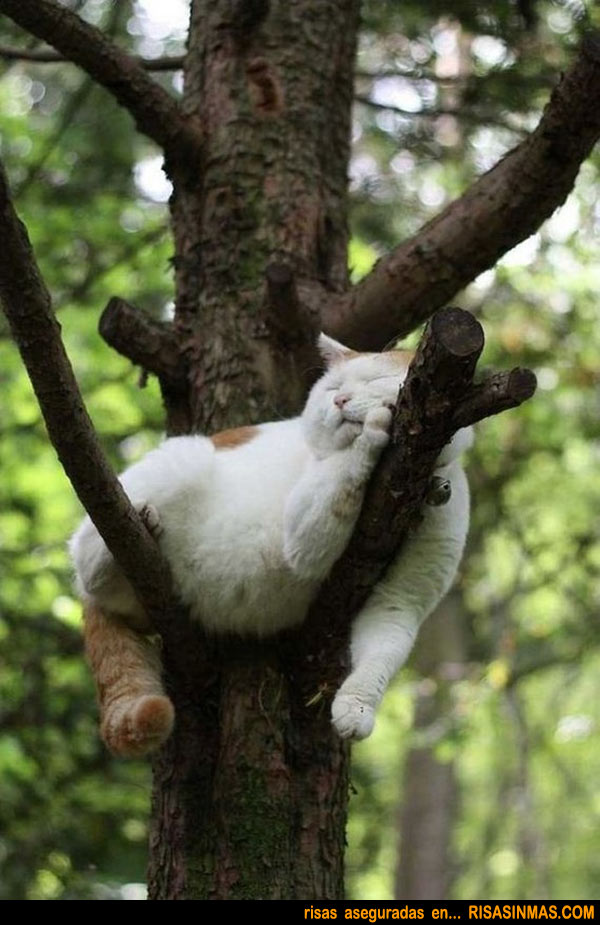 Siesta gatuna sobre un árbol.