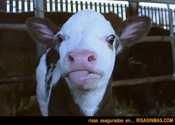 La vaca burlona