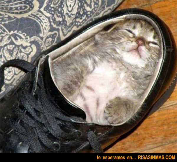 Posturas gatunas: dormido en un zapato
