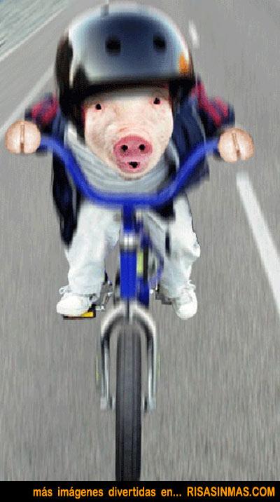El cerdo ciclista