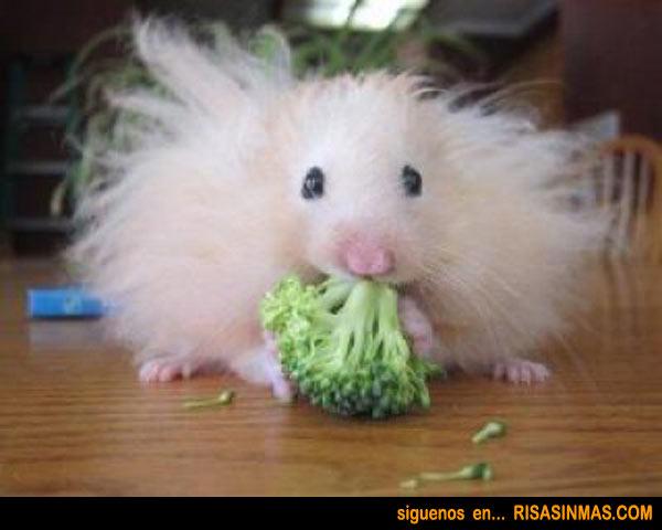 Hamster Duquesa de Alba