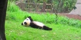 Osito panda estresado