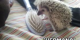 Erizo y cepillo