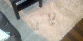 El perro alfombra