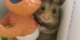 Hamster pillado in fraganti