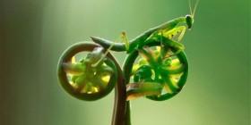 Mantis religiosa ciclista