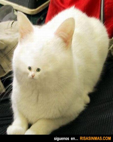 Gato con la cara enana