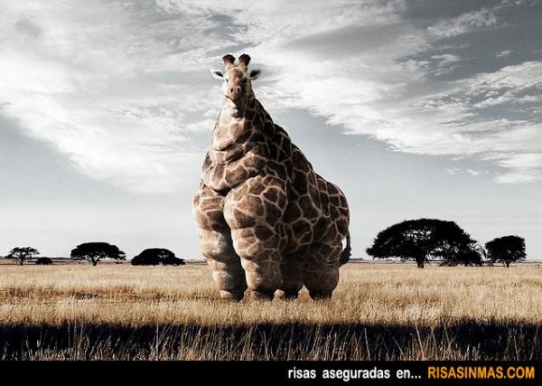 Jirafa obesa
