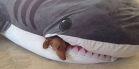 Perro devorado por un tiburón
