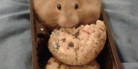 Hamster goloso y glotón