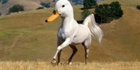 Animales curiosos: Pato-caballo