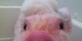 El cerdo más limpio