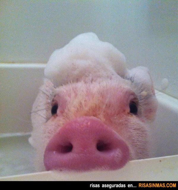 el-cerdo-mas-limpio.jpg