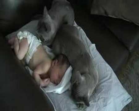 Gatos protegiendo a un bebé
