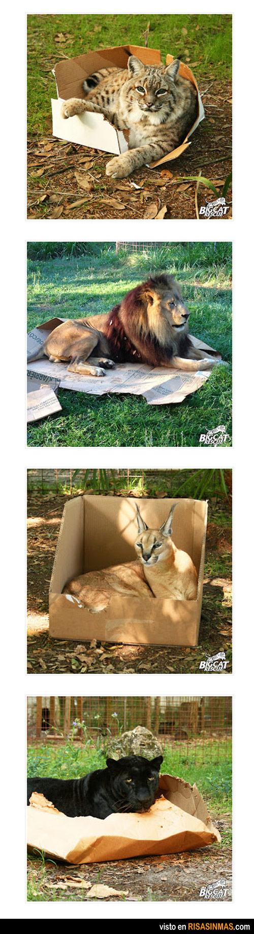 Confirmado, a los felinos les encantan las cajas vacías