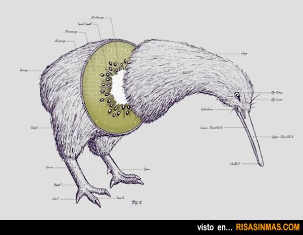 Anatomía del Kiwi