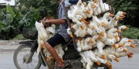 Transporte de patos