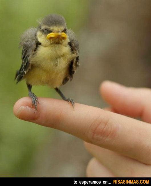 El verdadero Angry Birds