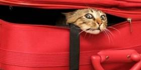 Gato escondido en la maleta